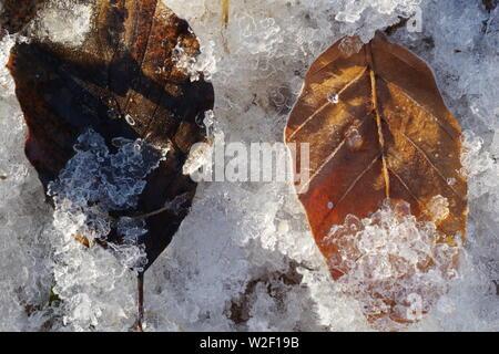 Frosty caído otoño hojas de haya (Fagus sylvatica) en la orilla en Donmouth, Aberdeen, Escocia, Reino Unido.