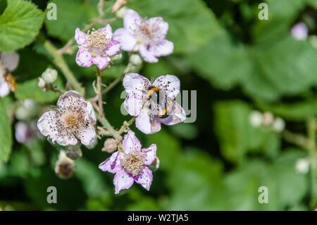 Londres, Reino Unido - Julio 07, 2019:Macro de abejorros en flor