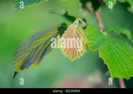 Jóvenes hazel Hoja verde con un tinte marrón en el fondo de verde borrosa suavemente a la luz de la mañana.