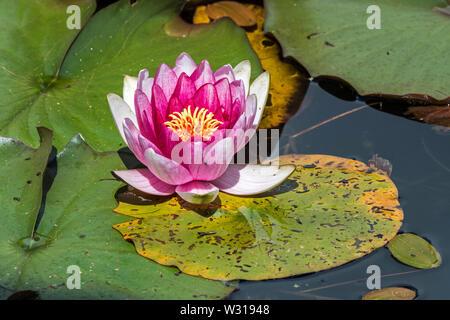Cultivar rosas de Nymphaea / lirio de agua en el Estanque de Flores