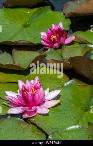 Cultivar rosas de Nymphaea / nenúfares en flor en el estanque