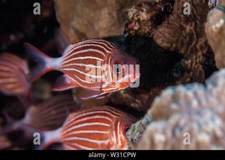 Crown squirrelfish (Sargocentron diadema) metálicos brillantes de color naranja / rojo pescado con rayas blancas en el lateral del cuerpo de cerca.