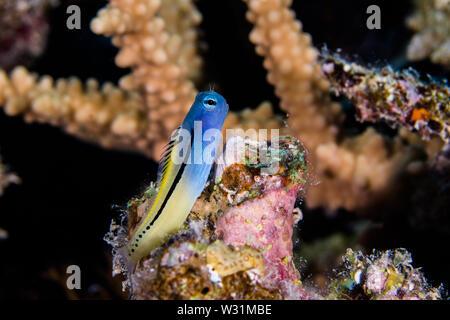 Mar Rojo imitar blenny (Ecsenius gravieri) pez encaramado sobre el arrecife closeup. Peces de arrecife con frente azul y cola amarilla.