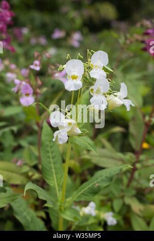 """Impatiens glandulifera 'Bálsamo del Himalaya"""" Flores."""
