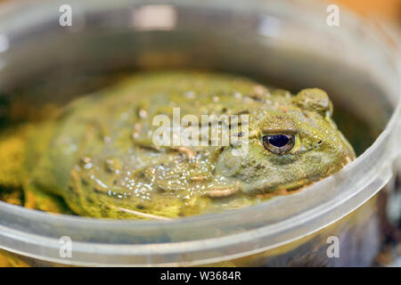 Pyxicephalus adspersus. Batracio gigante africano. La rana verde es una planta de agua, la excavación de rana sentada en un cubo de plástico cerca - en un terrario.