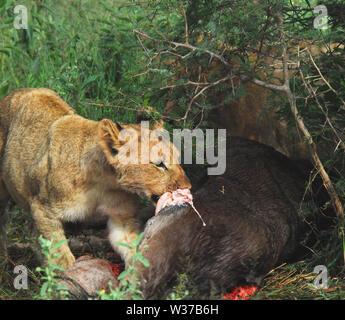 Un joven cachorro salvaje tomando su turno en el banquete de juego recién muertos como la madre leona significa protector. Fotografiado en un safari en Sudáfrica. Más