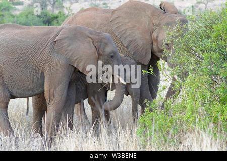 Bush elefantes africanos (Loxodonta africana), el elefante bebé con dos jóvenes alimentándose de hierba seca y raíces, el Parque Nacional Kruger, Sudáfrica, África