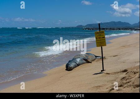 La foca monje hawaiana, Neomonachus endanged schauinslandi, es una especie endémica de las Islas Hawaianas; a pesar de su rareza, las focas monje son vistos a menudo