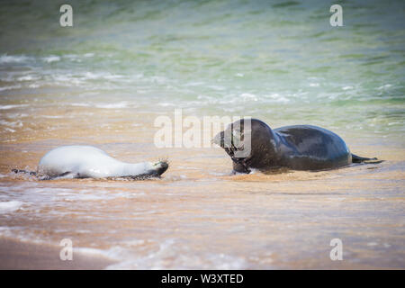 La foca monje hawaiana, Neomonachus schauinslandi, especies en peligro de extinción endémico de las Islas Hawaianas; a pesar de su rareza, las focas monje pueden verse a menudo