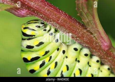 Una oruga de una especie (Papilio polyxenes) en la pre-pupa, mientras se prepara para formar una crisálida y transformarse en un adulto mantequilla