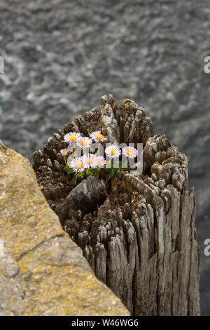 Un ejemplo de Erigeron Glaucus, crece en la parte superior de un apilamiento de madera junto a West Bay Harbor en Dorset. La planta es conocida por varios nombres como se