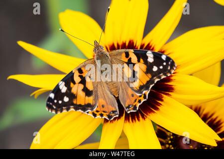 Vanessa cardui mariposas se asienta en una flor amarilla. Painted Lady Butterfly. Fondo con una hermosa mariposa en una flor.