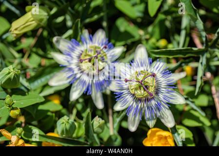Las flores de la planta sur purple passionflower cerrar