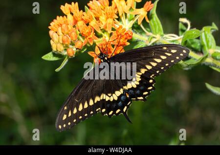 Macho Negro Oriental especie butterfly alimentándose de una naranja Butterflyweed