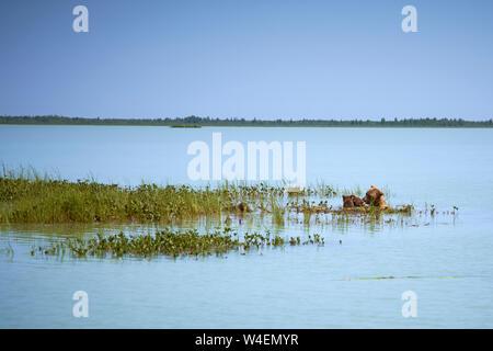 Brown Bear family la natación y la pesca en Alaska