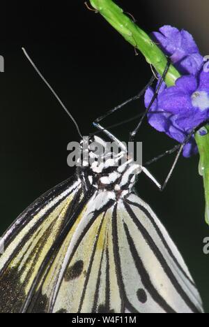 Mariposa colgando del tallo floral.