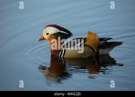 Pato Mandarin nadando en Pooley Bridge cerca de Ullswater en el Lake District National Park