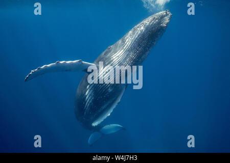 La ballena jorobada, Megaptera novaeangliae, jóvenes varones, de Ha'apai, en el Reino de Tonga, Océano Pacífico del Sur