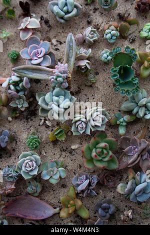 Varias pequeñas plantas suculentas en suelos arenosos de un alto ángulo de visión