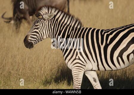 Cebra en Zimbabwe