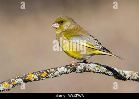Bird - Verderón (Chloris Chloris) es un pequeño pájaro de la familia Fringillidae y orden de las Passeriformes.