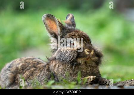 Un marrón lindo conejo enano (Lions head) descansando en la hierba