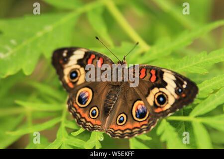 Junonia coenia - Común Buckeye mariposa con las alas abiertas