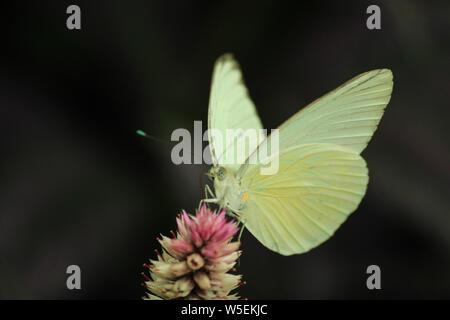 Nublado butterfly - Colias philodice azufre Godart - alimentación en wildflower