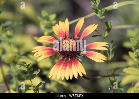Una foto de un delicado color rojo y amarillo coneflower en un jardín.