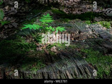 Concepto shot, Lone plántula crece en bosques, resaltado por un eje de la luz solar. Nuevos comienzos, o un nuevo comienzo.
