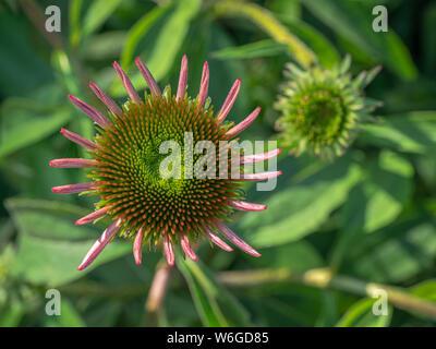 Cerrar mirando una coneflower (Equinácea) flor comienza a abrirse, con suaves- y otro foco deja florecer la apertura en el fondo