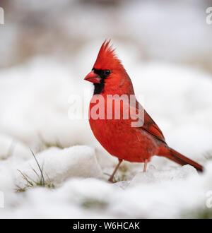 El cardenal en la nieve en una perenne
