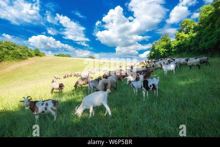El pastoreo del ganado en un verde prado de verano en Hungría. Las ovejas, cabras y cordero en los pastos con bellas nubes cerca de Pannonhalma, Sokoro hills.