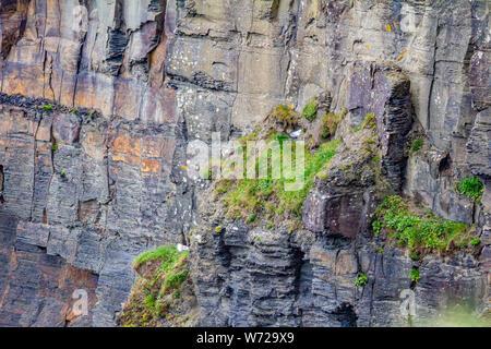 Paredes verticales de piedra caliza con moss y gaviotas común en la caminata costera ruta desde Doolin a los Acantilados de Moher, Camino del atlántico salvaje