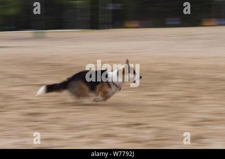 Welsh Corgi pembroke perro corriendo rápidamente por la playa, alta velocidad