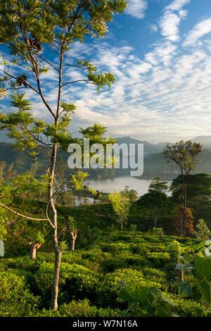 Una plantación de té cerca de Hatton, Sierra Central, Sri Lanka. Diciembre de 2011 Foto de stock