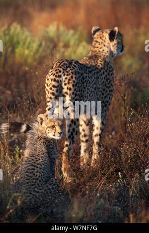 Guepardo (Acinonyx jubatus) con cachorro, Phinda Private Game Reserve, Kwazulu Natal, Sudáfrica Foto de stock