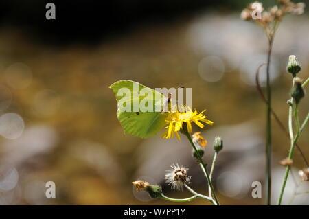 Azufre común en una flor de chupar néctar