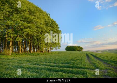 Cúmulos de hayedo (Fagus sylvatica) y campo de labranza en el Ridgeway antigua pista y ruta de larga distancia, Marlborough Downs, Wiltshire, REINO UNIDO, Mayo.