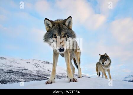 Amplio ángulo de cerca de dos europeos los lobos grises (Canis lupus), cautiva, Noruega, Febrero. Foto de stock