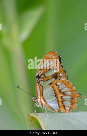 Malaquita Butterfly (Siproeta stelenes) en una granja de mariposas, nativo de América Latina.