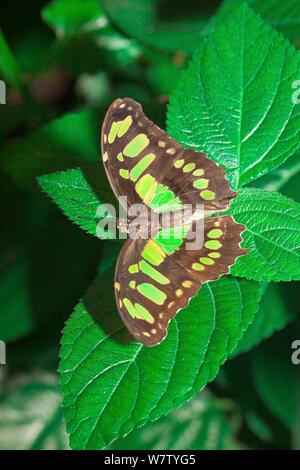Butterfly (Siproeta stelenes Malaquita) cautivo, nativa de América del Norte de Brasil.