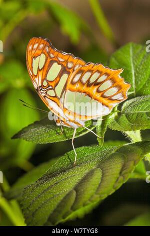 Butterfly (Siproeta stelenes Malaquita) cautivo, nativa de América del Norte a Brasil,