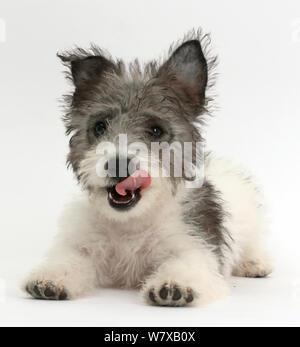 Jack Russell x 12 semanas de edad Cachorro Westie lamiéndose los labios. Foto de stock