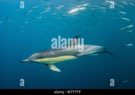 Larga picuda delfines comunes (Delphinus capensis) alimentándose de la sardina (Sardinops sagax) Eastern Cape, Sudáfrica