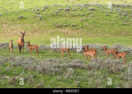 Elk (Cervus elaphus canadensis) vaca con grupo de jóvenes cervatillos. El Parque Nacional Yellowstone, Wyoming, Estados Unidos.