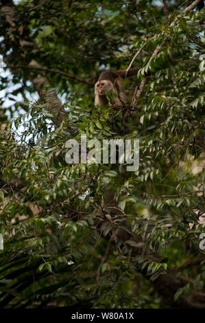 Cuña-capped / Llanto capuchino (Cebus olivaceus) en el árbol de la selva, fuera la lengua. Reserva de Iwokrama, Guyana.