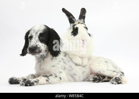 En blanco y negro x Border Collie Cocker Spaniel cachorro, 11 semanas, con la coincidencia de conejo, Bandolero.
