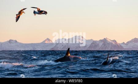Ballenas asesinas / las orcas (Orcinus orca), seguido por el arenque gaviotas cocineras (Larus argentatus) mientras se alimentan de arenques. Andfjorden, cerca de Andoya, Nordland, Noruega, enero.