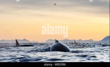 Las ballenas jorobadas (Megaptera novaeangliae) y ballenas asesinas / las orcas (Orcinus orca), alimentándose de arenque (Clupea harengus). Andfjorden, cerca de Andoya, Nordland, en el norte de Noruega. De enero.